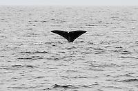 Norway, Vesteraalen. Whale safari from Stø in Vesterålen, in the area of Bleik Canyon outside Andøya.