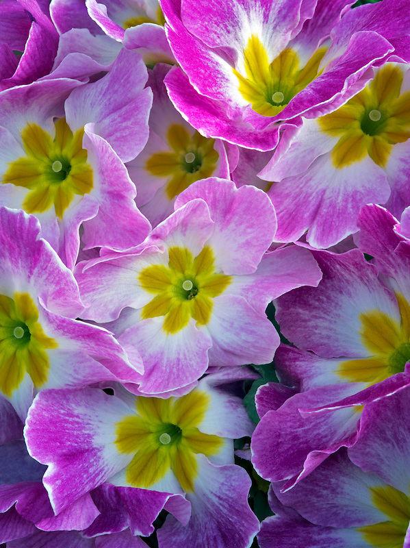 Close up of purple and yellow Primrose.