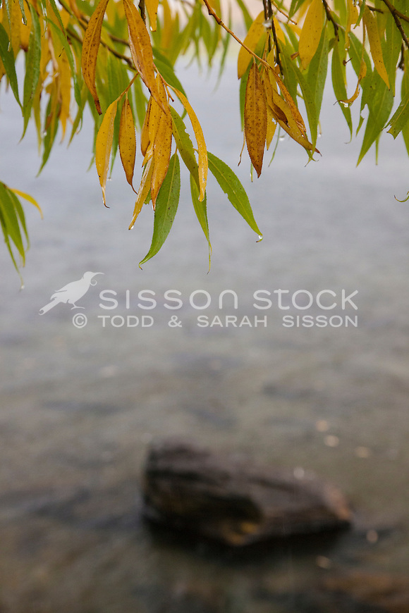 Nature detail image, golden & green willow leaves with rain drops. Lake Hayes, Queenstown NZ