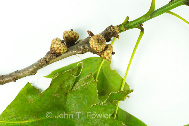 Northern Red Oak acorns immature