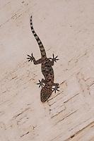 """Europäischer Halbfinger, Gecko, Halbfinger-Gecko, Türkischer Halbfingergecko, """"Hausgecko"""", Hemidactylus turcicus, Turkish gecko, Mediterranean gecko, Mediterranean House Gecko, common house gecko, Gecko nocturne, Hémidactyle verruqueux"""