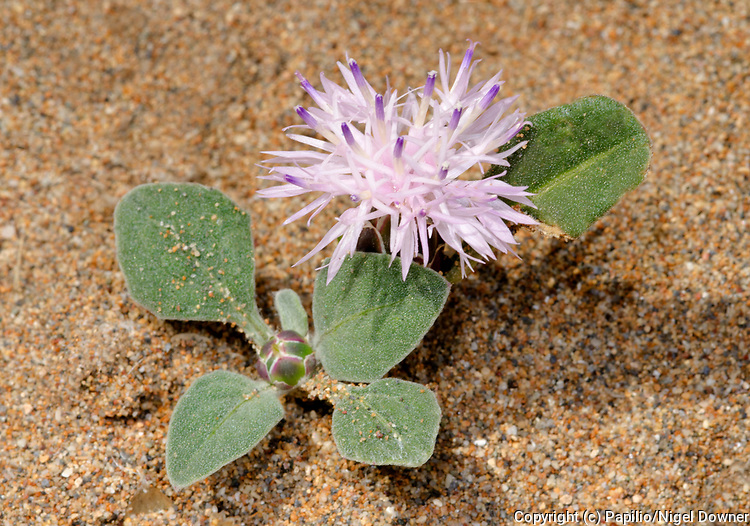 A single Centaurea aegialophila plant growing on a sandy beach at Alagadi Turtle Beach North Cyprus