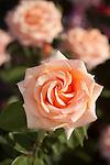 'SUNSET CELEBRATION' I.E. 'WARM WISHES' ROSE, ROSA HYBRID TEA