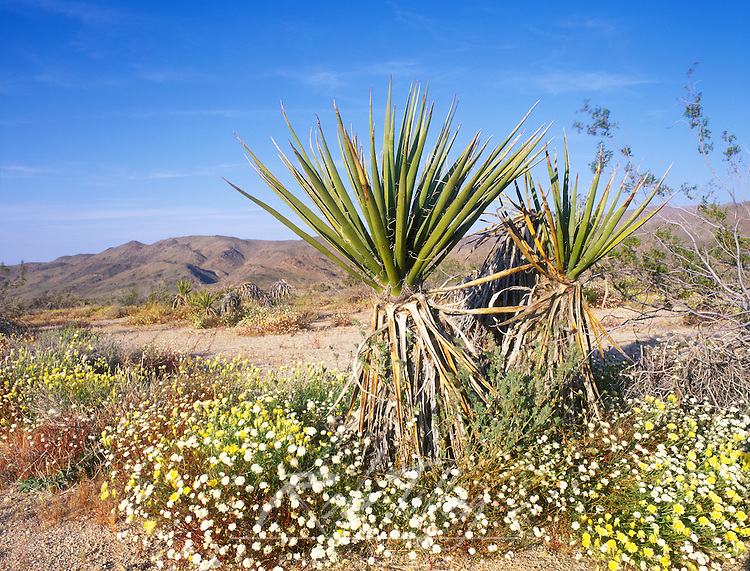 USA, California, Joshua Tree NP, Desert Dandelion, Desert Pincushion and Soaptree Yucca
