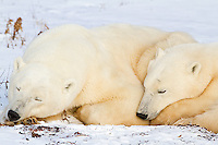 01874-13109 Polar Bears (Ursus maritimus) cub sleeping next to mother Churchill Wildlife Management Area, Churchill, MB