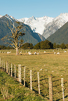 Farming under the Southern Alps near Fox Glacier visible in background, Westland National Park, West Coast, New Zealand