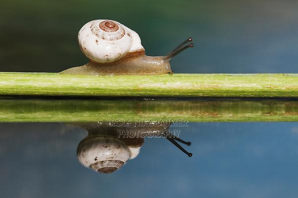 Banded Scrubsnail (Praticolella berlandieriana), adult crawling on branch, Dinero, Lake Corpus Christi, South Texas, USA