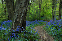 A pathway through a carpet of bluebells leads into a beech wood