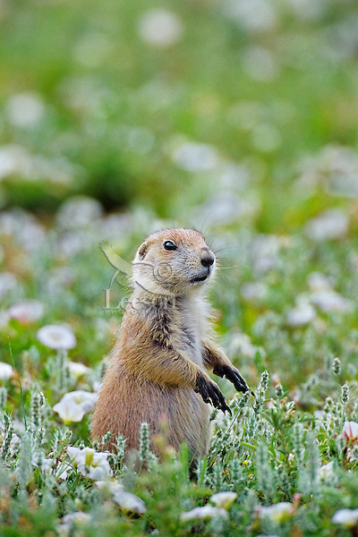 Black-tailed Prairie Dog (Cynomys ludovicianus) standing among morning-glory wildflowers.