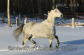 Bob, ANIMALS, REALISTISCHE TIERE, ANIMALES REALISTICOS, horses, photos+++++,GBLA4369,#a#, EVERYDAY