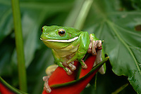 White - lipped Green Tree Frog (Litoria infrafrenata) sitting on the top of a bright red Heliconia plant.