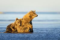 Racer leans on his mother, Paula. Kodiak grizzly bear (Ursus arctos middendorffi), Hallo Bay