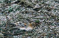 Brambling, Fringilla montifringilla, dead finch at roosting place of 5 Million Finches, Bern, Switzerland, January 1998