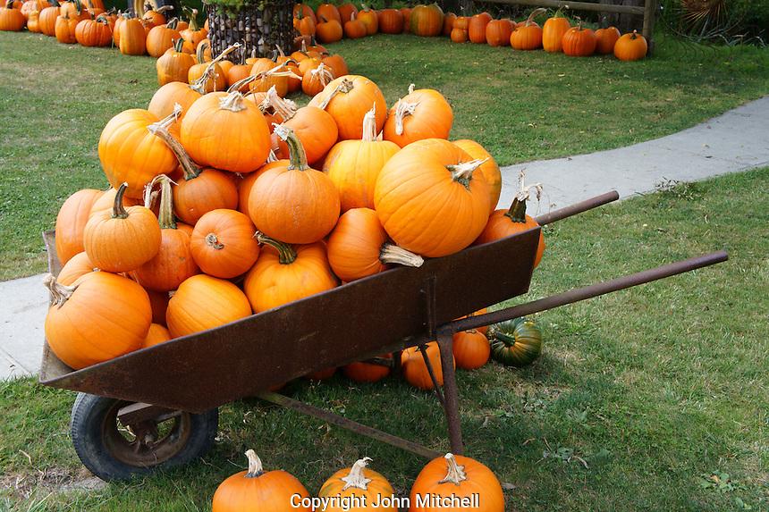 Wheel barrow loaded with ripe pumpkins, Ladner, British Columbia, Canada