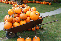 Wheel barrow loaded with ripe pumpkins, Ladner, British Columbia, Canada