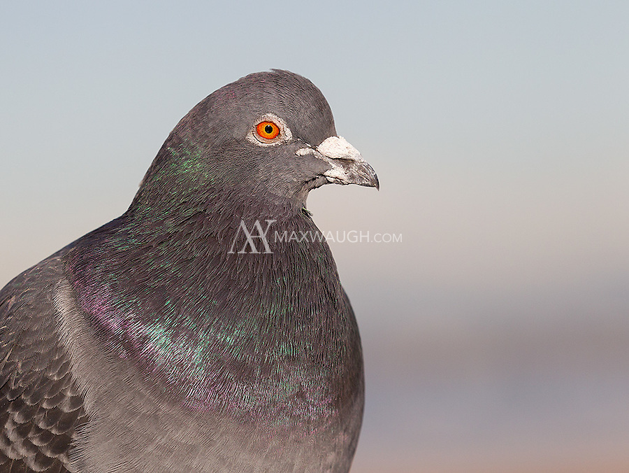 Rock doves, also known as feral pigeons, are a bit underrated.