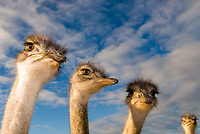 African Ostriches (Struthio camelus), ostrich farm, Oudtshoorn, Little Karoo, Eden District, Western Cape Province, South Africa, Africa