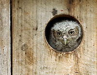 Eastern Screech Owlet in Nestbox