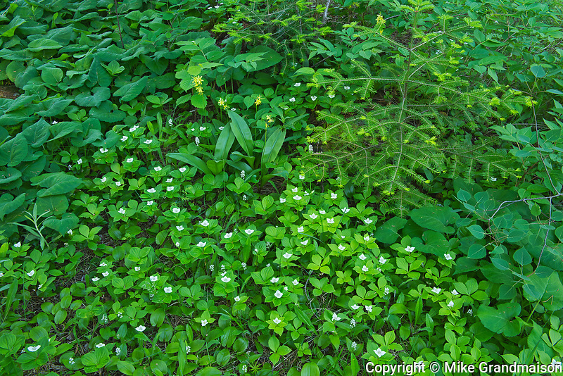 Bunchberry (Cornus canadensis) blossoms <br />Rushing River Provincial Park<br />Ontario<br />Canada