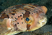 Balloonfish, Diodon holocanthus, Lembeh, Indonesia