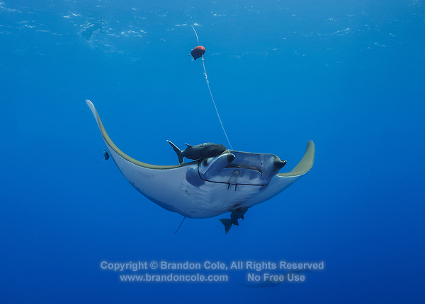 """WQ0555-D. Sicklefin Devil Ray (Mobula tarapacana) with a towed biologging tag attached via a rubber """"necklace""""  harness deployed by a marine biologist. This equipment and the in water attachment method are much less invasive than other elasmobranch tagging protocols, causing little or no adverse effect on the animals, which are also called Chilean devil rays. A galvanic link on the harness dissolves after a set time and releases the harness and tag, which float to the surface to be recovered by the scientists. These high-tech multisensor units have radio and satellite transmitters, fast lock GPS, and a suite of instruments to record water temperature, depth, and light levels, as well as 3D high frequency accelerometry data. Some units even feature onboard cameras for HD imagery acquisition. Marine scientists are now gathering valuable information on the short-term fine-scale movement patterns of the rays, allowing us to better understand their habitat use and diving and aggregating behavior. Such knowledge aids in conservation efforts working towards improved protection of the species, including further development of best practices for sustainable devil ray ecotourism activities. Azores, Portugal, Atlantic Ocean.<br /> Photo Copyright © Brandon Cole. All rights reserved worldwide.  www.brandoncole.com"""