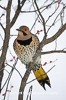 01193-014.17 Northern Flicker (Colaptes auratus) male in Common Winterberry (Ilex verticillata) Marion Co. IL