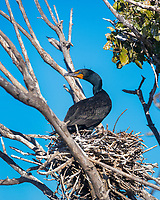 double-crested cormorant, Phalacrocorax auritus, Baja California, Mexico, Gulf of California, aka Sea of Cortez, Pacific Ocean