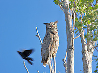 Great Horned Owl in tree with angry blackbird. Summer Lake State Wildlife Refuge. Oregon