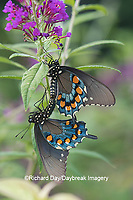 03004-01510 Pipevine Swallowtail (Battus philenor) male and female mating on Butterfly Bush (Buddleja davidii) Marion Co. IL
