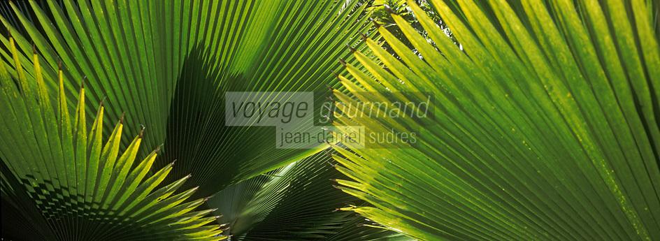 """France/DOM/Martinique/Balata/Les jardins: Détail palmier - """"Pritchardia Pacifica"""""""