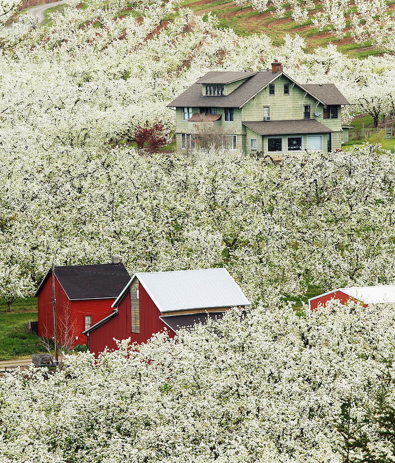 Home and red barn in flowering orchard, Hood River, Oregon, USA