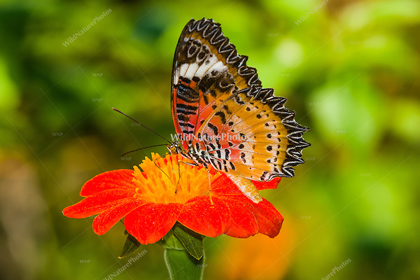 A Leopard Lacewing (Cethosia cyane) displays aposematic colors to warn predators that it is distasteful. (Cambodia)