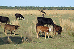 The range of colors in the calves reveal their mixed ancestry.