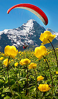 Paraglider over a meadow of Alpine Globeflower (Trollius Europaeus ) meadows at 6000ft ( 2500Mts) with the Eiger behind. First, Grindelwald, Bernese alps