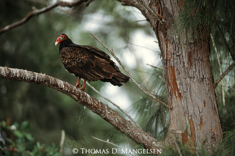Turkey vulture perched in a tree.