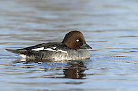 Goldeneye - Bucephala clangula - Female. L 42-50cm. Compact diving duck. Both sexes are easily recognised. In flight, all birds show white on inner wings (extent greatest in males). Sexes are dissimilar in other respects. Adult male has mainly black and white plumage. Rounded and peaked, green-glossed head has yellow eye and striking white patch at base of bill. In eclipse, resembles an adult female but retains his more striking white wing pattern. Adult female has mainly grey-brown body, pale neck, dark brown head and yellow eye. Juvenile is similar to adult female but with dark eye. Voice Displaying male utters squeaky calls and rattles. Status Scarce breeding species, mainly in N. Locally common in winter, mostly on estuaries but also on inland lakes and flooded gravel pits.
