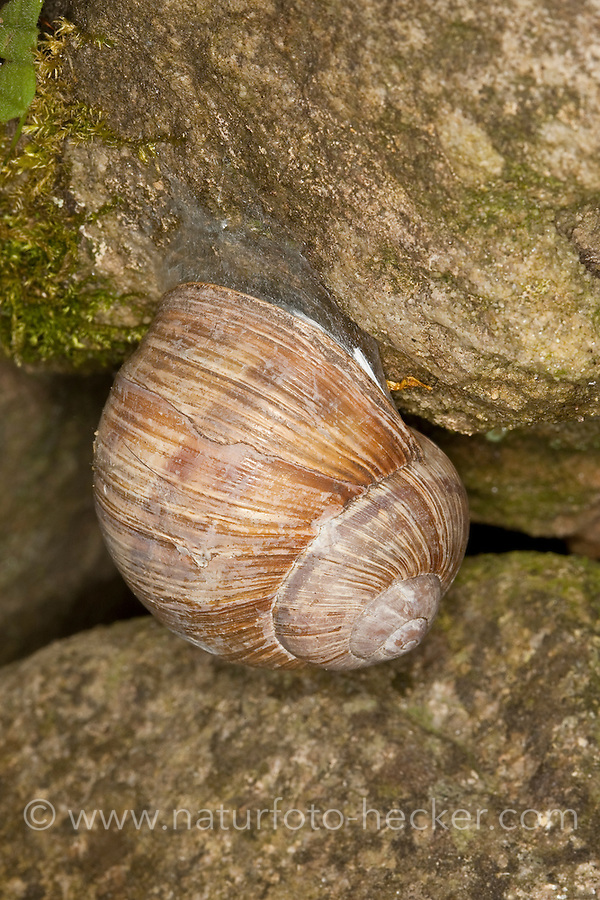 Weinbergschnecke, Weinberg-Schnecke, in Ruheposition an einer Steinmauer, Gehäuse durch Diaphragma verschlossen, Helix pomatia, Roman snail, escargot, escargot snail, edible snail, apple snail, grapevine snail, vineyard snail, vine snail