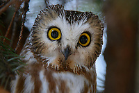 Northern Saw-whet Owl (Aegolius acadicus) roosting. Washington. February.
