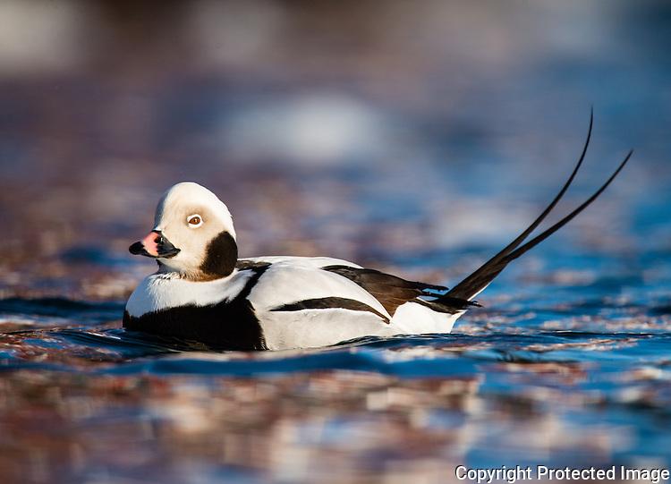 Havelle (Clangula hyemalis) ---- Long tailed duck (Clangula hyemalis)