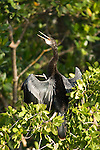 Ding Darling National Wildlife Refuge, Sanibel Island, Florida; an Anhinga (Anhinga anhinga) bird, drying its wings in the early morning sun, while perched on a mangrove branch, also known as Water Turkey, Snake Bird, Darter or American Darter © Matthew Meier Photography, matthewmeierphoto.com All Rights Reserved
