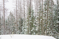 Coniferous Trees (Softwoods)
