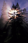 CANADA, ALBERTA, ROCKY MOUNTAINS, JASPER NATIONAL PARK, MALIGNE CANYON, TREE WITH STARBURST AND SUN RAYS