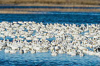 Flock of Snow geese (Chen caerulescens) resting in pond at Sacramento National Wildlife Refuge.  Feb.