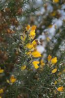Europäischer Stechginster, Gewöhnlicher Stechginster, Ulex europaeus, common gorse, furze, whin