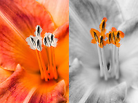 One of four images composed of two, side by side close-ups of a daylily, half color, half black and white.