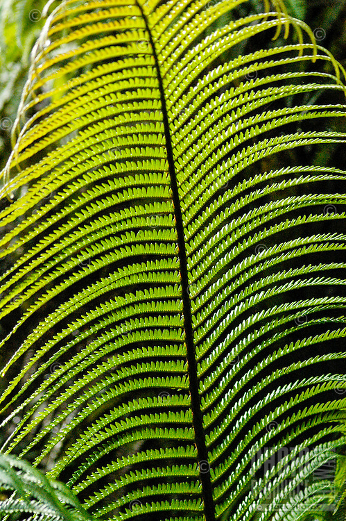 A close-up of a green, sunlit hapu'u fern frond in a Volcano rainforest, Big Island.