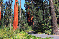 Stock photo: Tall redwood trees send on sides of a road passing through the Sequoia national park in California USA.
