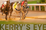 No.2 Heatherhil Daisy winner of the Lee Strand Centrepoint Development Semi-Final 570 in a time of 31:60 2nd was No.3 Bemused Rogue and 3rd was No.4 Homestead Cindy at the Kingdom Greyhound Stadium on Friday.