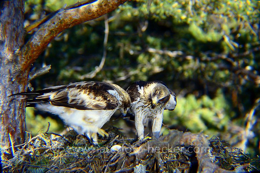 Zwergadler, Paar, Pärchen am Nest, Horst, Zwerg-Adler, Adler, Hieraaetus pennatus, Aquila pennata, Aquila minuta, booted eagle, L'Aigle botté