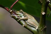 Trachycephalus typhonius (Sapo-cunauaru). A cren&ccedil;a popular diz que a secre&ccedil;&atilde;o que ele expele elimina verrugas em humanos.<br /> <br /> <br /> ALTINO_MACHADO
